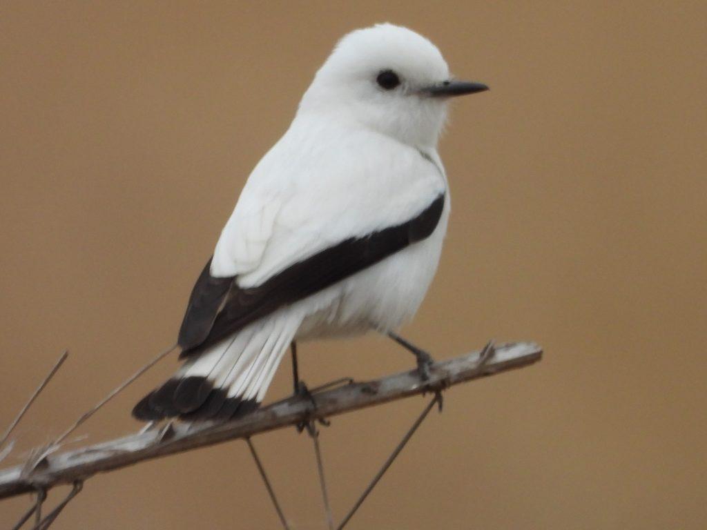 White-Monjita